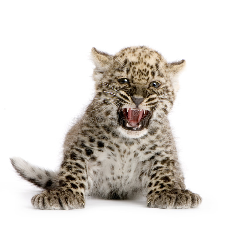 Download Persian Leopard Cub (2 Months) Stock Photo - Image: 2390840