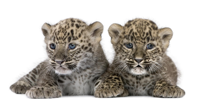 Persian leopard Cub (6 weeks). In front of a white background stock photography