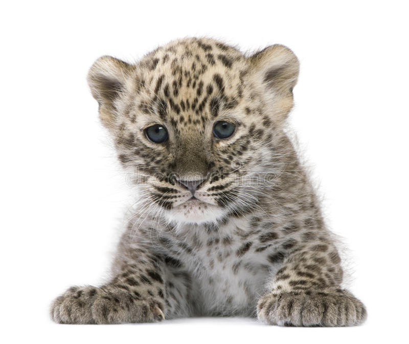 Persian leopard Cub (6 weeks). In front of a white background stock photos