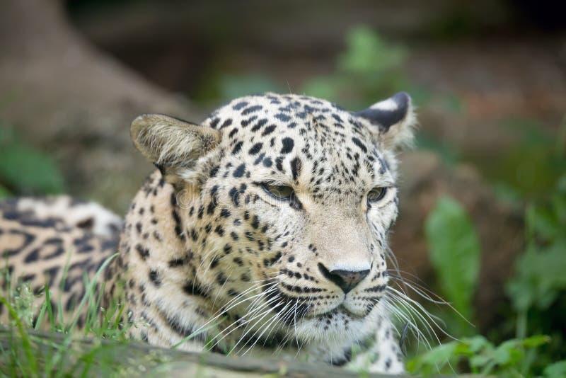 Persian leopard (Panthera pardus saxicolor) royalty free stock photos