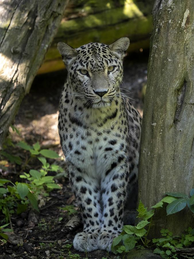 Persian Leopard, Panthera pardus saxicolor, stands on a tree stump and observes the surroundings. The Persian Leopard, Panthera pardus saxicolor, stands on a stock images