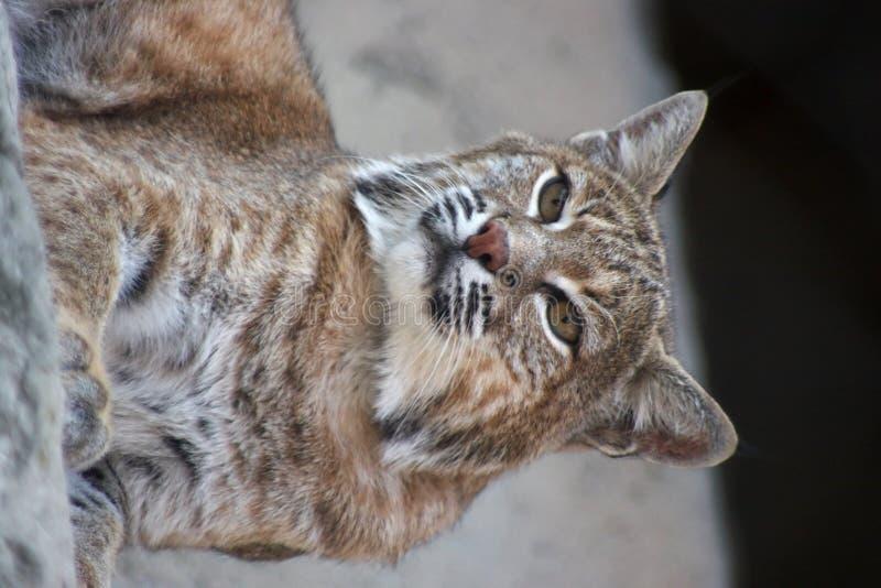 Download Persian lynx stock image. Image of feline, natural, elegant - 6580199