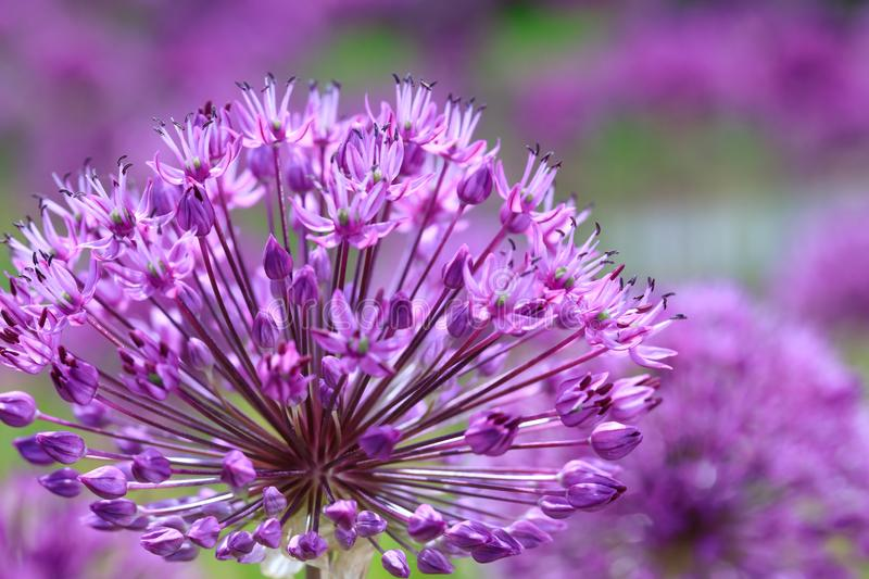 Violet Persian onion flowers. Purple awesome landscape. royalty free stock images