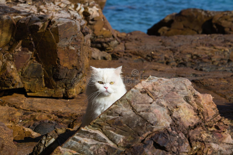 Persian Ragdoll cat sitting relaxed on the beach. Adorably cute white tabby Persian Ragdoll cat sitting relaxed on the beach in island Ko Wai, Thailand stock photos