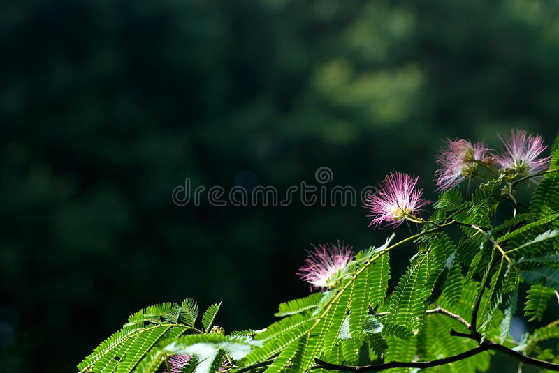 Persian Silk Tree Stock Photography