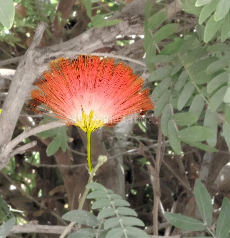 Persian silk tree or Albizia julibrissin Pink exotic flower royalty free stock photography
