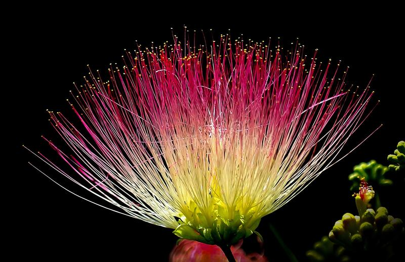 Persian Silk Tree Flower Free Public Domain Cc0 Image