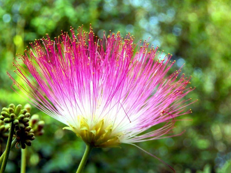 Persian Silk Tree Flower. Flower of the Persian Silk Tree or Mimosa (Albizia julibrissin) stock photos