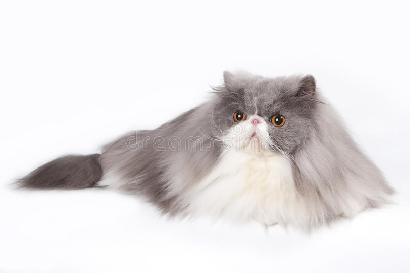 Persian - silver Tabby royalty free stock images