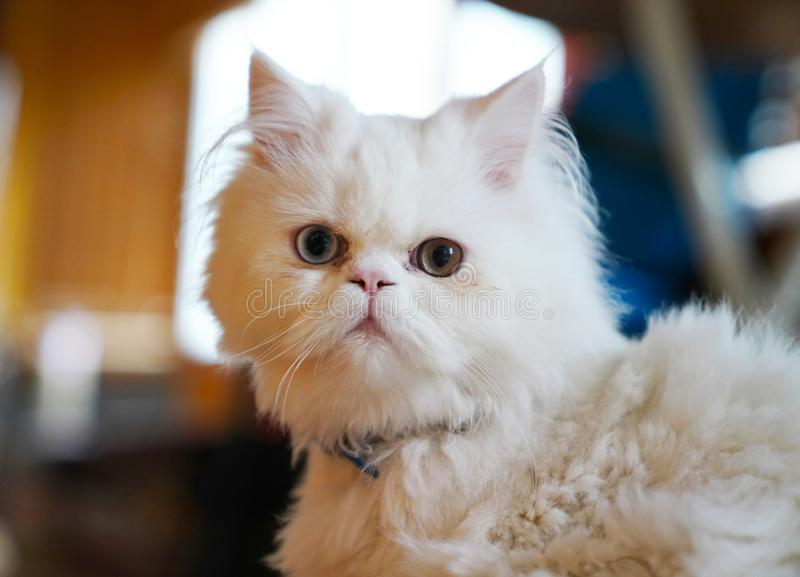 Persian and Turkish Van cats cross breed, white color and cat w royalty free stock images