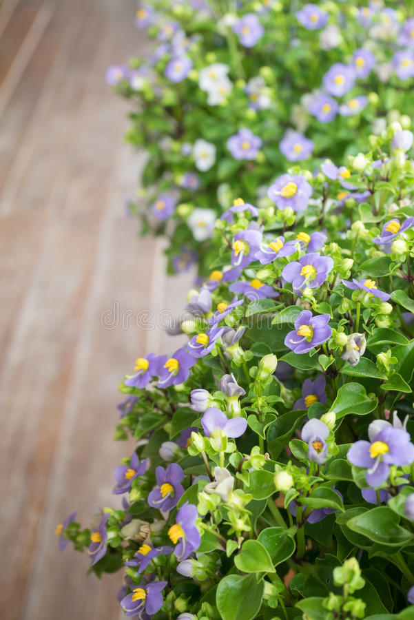 Persian Violet flowers in small pots on wooden balcony royalty free stock image