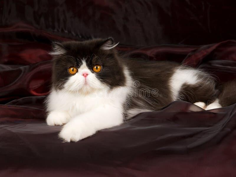 Persiano in bianco e nero sul nero del burgund fotografia stock
