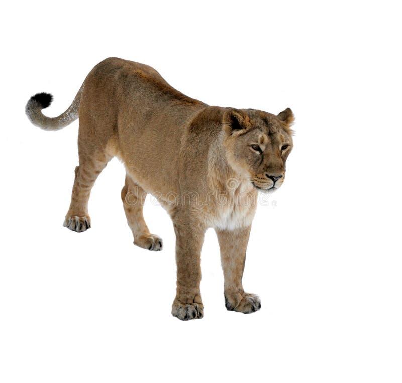 Persica asiático de leo del Panthera de la leona en el fondo blanco hembra foto de archivo