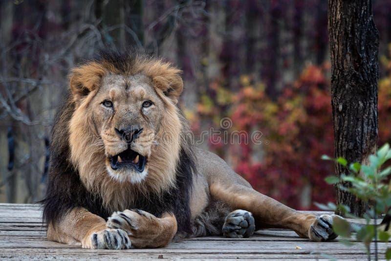 Persica asiático de leo del Panthera del león fotos de archivo libres de regalías