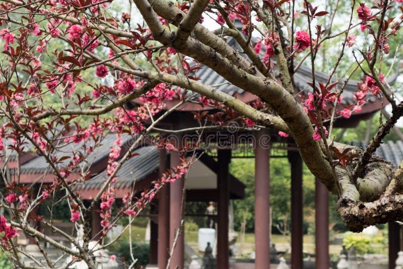 Persica de florescência L do pêssego-Amygdalus var persica f Rehd frente e verso imagem de stock