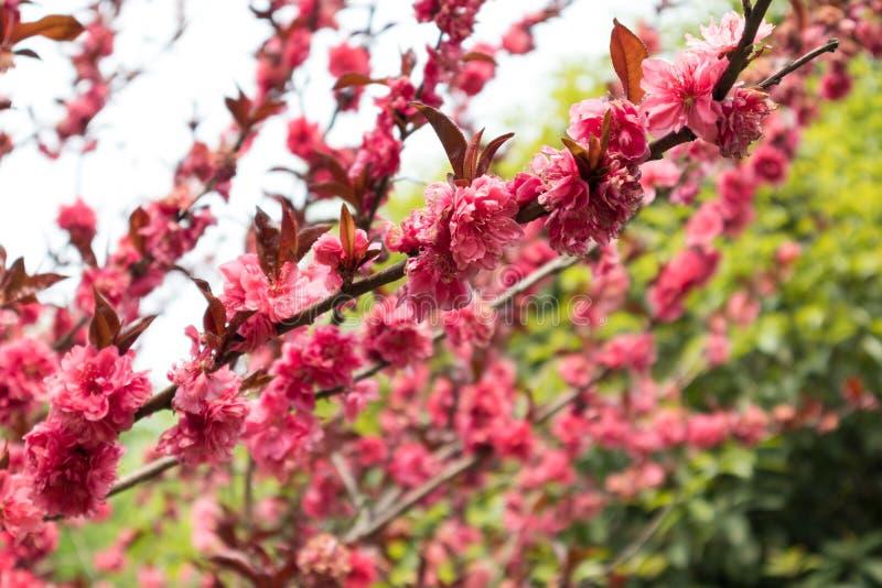 Persica de florescência L do pêssego-Amygdalus var persica f Rehd frente e verso fotografia de stock