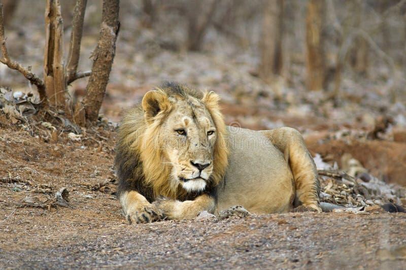 Persica de leo asiático del león o del Panthera, descansando en el bosque en el parque nacional Gujarat de Gir, la India foto de archivo libre de regalías