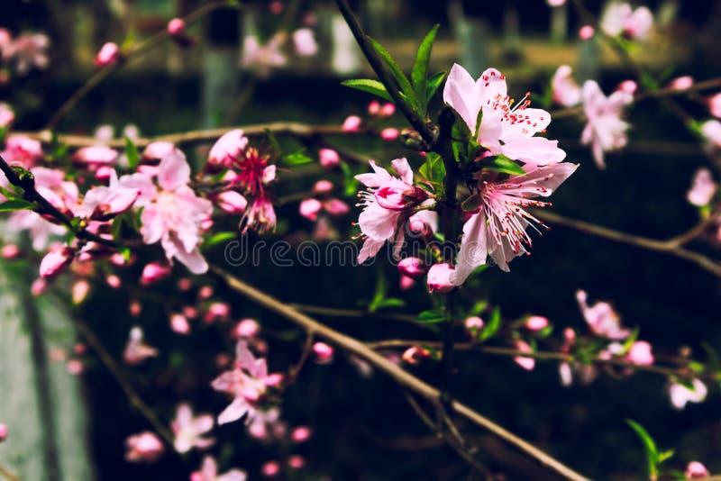 Persica L del flor-Amygdalus del melocotón imagen de archivo libre de regalías