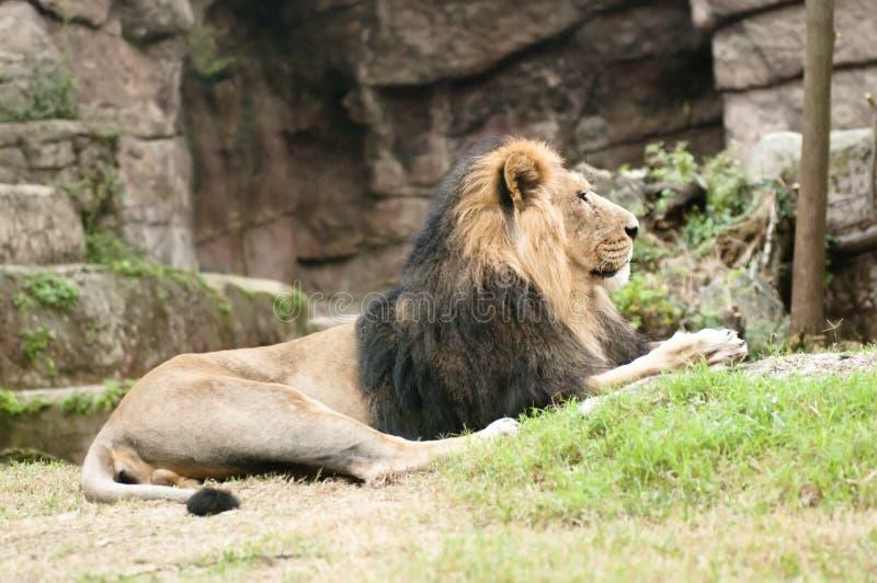 persica panthera asiatic льва leo мыжское стоковое фото rf