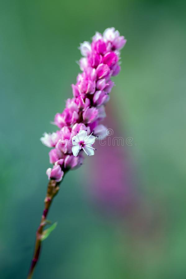 Persicaria affinis small pink white flowers on one stem in bloom download persicaria affinis small pink white flowers on one stem in bloom stock image image mightylinksfo
