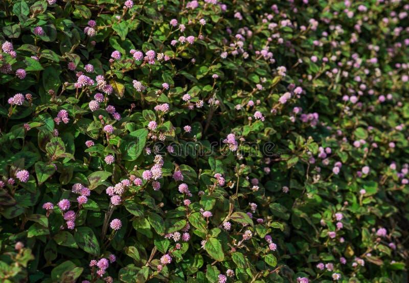 Persicaria-capitata - rosa Knoten-Unkraut-wilde Blume stockfotografie