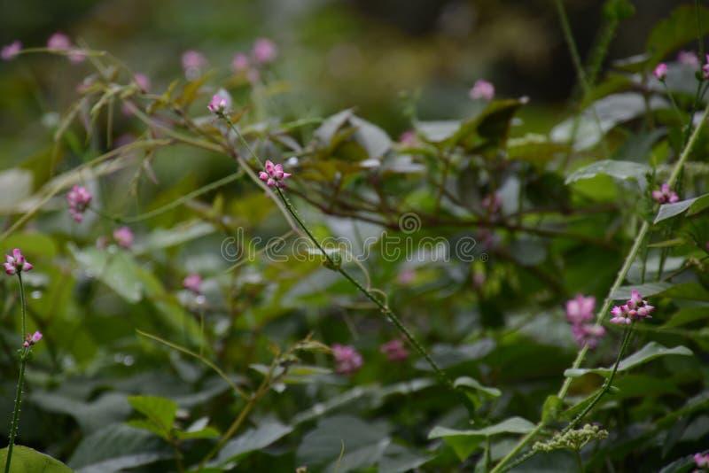 Persicaria senticosa 免版税库存图片