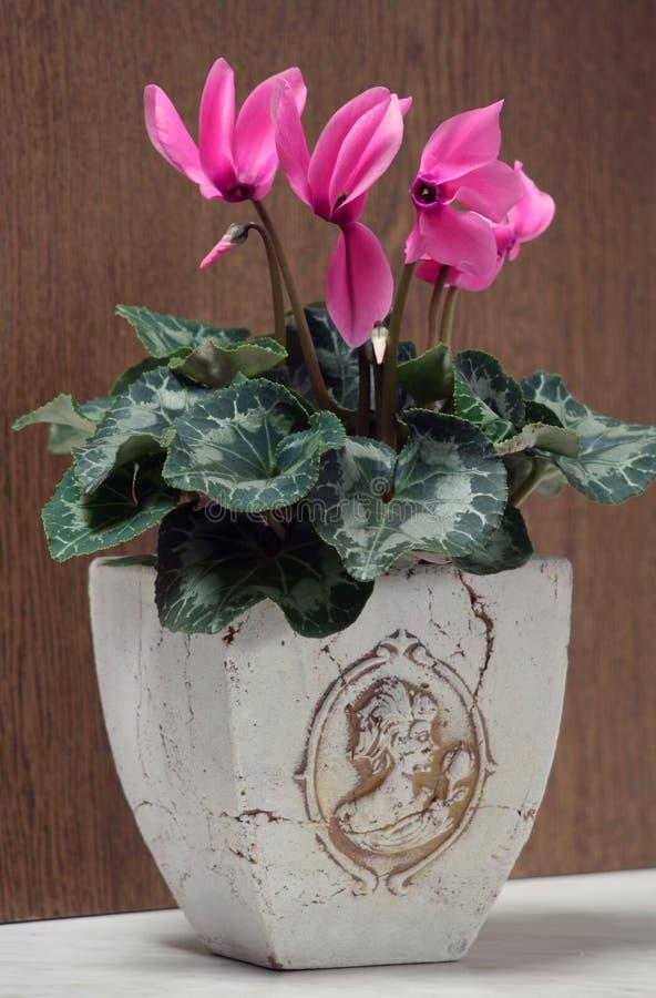 Persicum de Cyclamen - de Cyclamen foto de stock royalty free