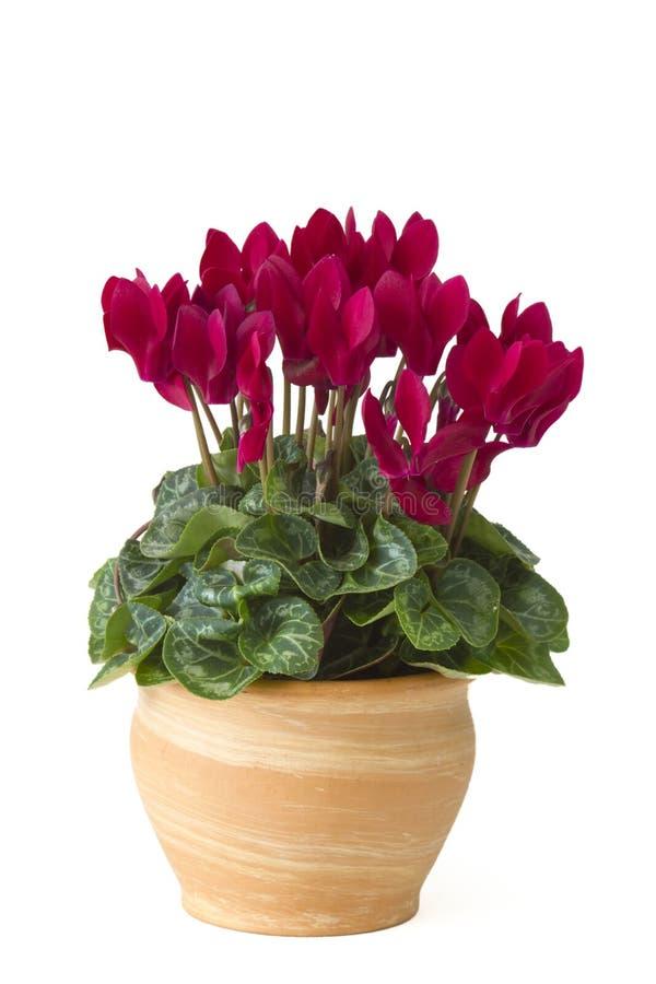 Persicum do cíclame em um potenciômetro de flor imagens de stock royalty free