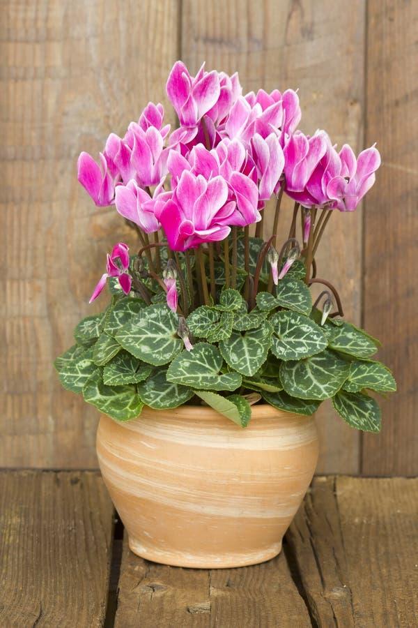 Persicum do cíclame em um potenciômetro de flor fotos de stock