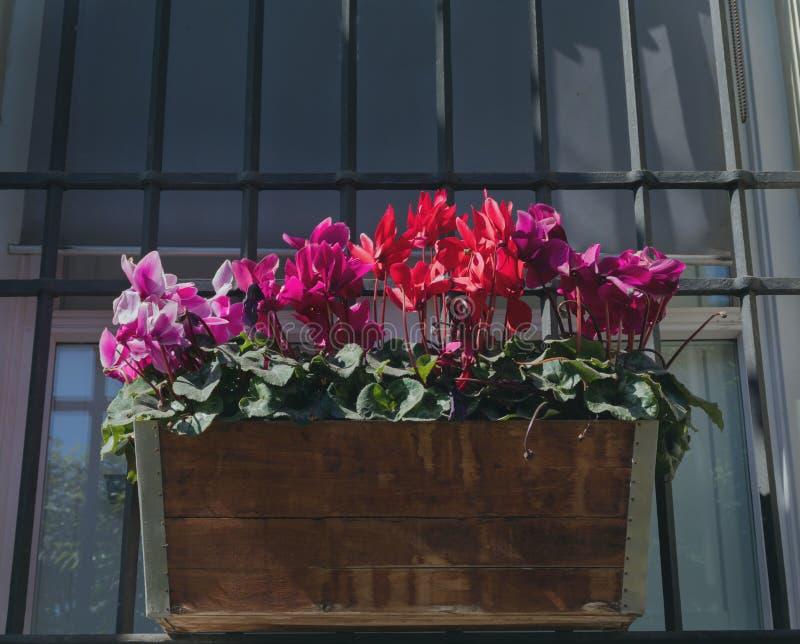 Persicum do cíclame, violeta de persia em um plantador de madeira imagem de stock royalty free