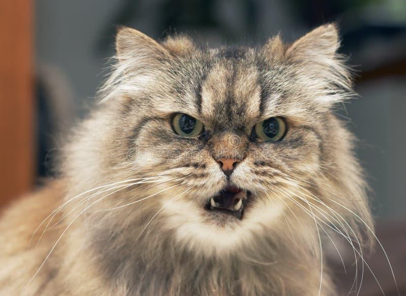 persie kota zdjęcia stock