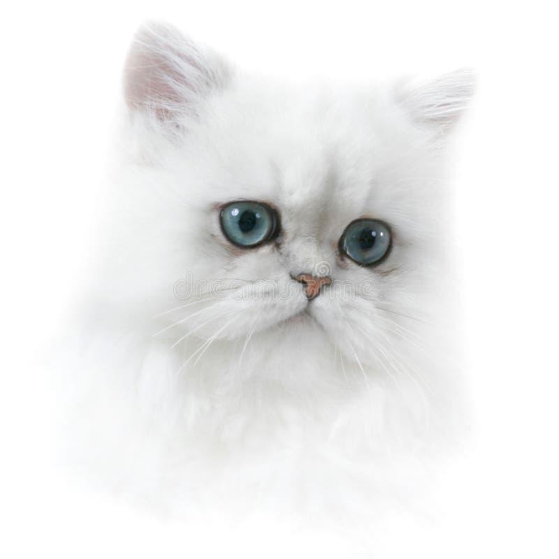 persie kotek zdjęcie royalty free