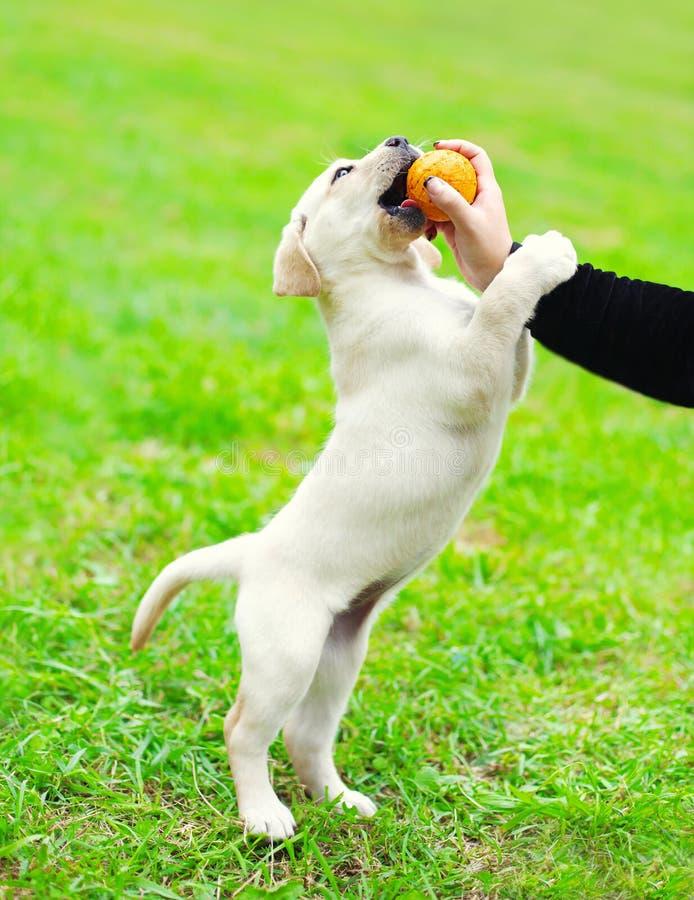 Persiga al labrador retriever del perrito que juega con el dueño y la bola foto de archivo libre de regalías