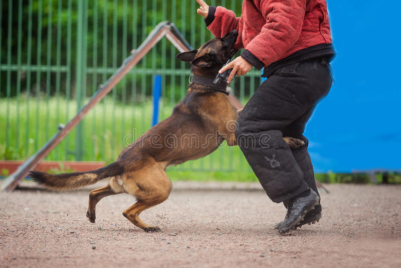 Persiga a competição, treinamento do cão de polícia, cães ostentam fotos de stock royalty free