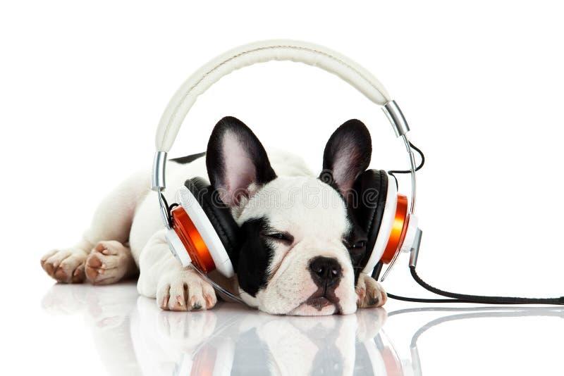 Persiga el dogo francés con el auricular aislado en el fondo blanco imagen de archivo libre de regalías