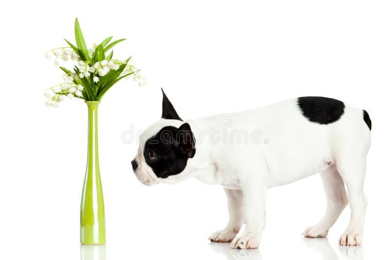 Persiga el dogo francés con las flores aisladas en el fondo blanco foto de archivo