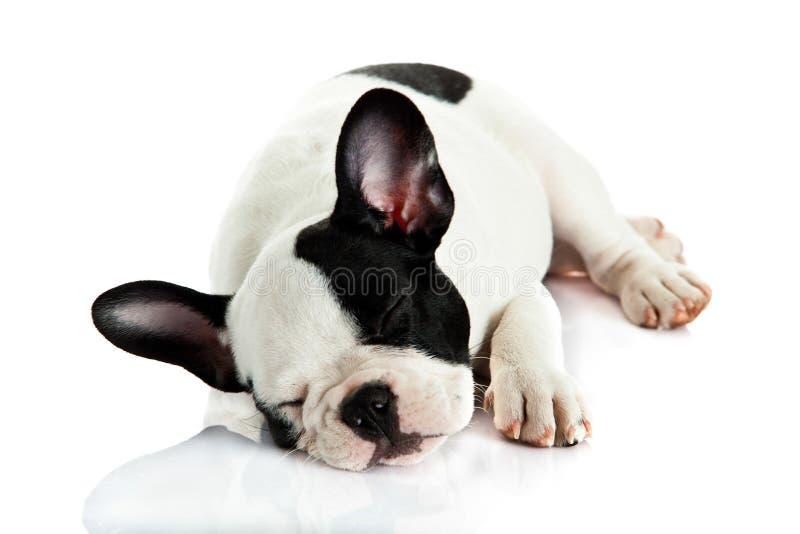 persiga el dogo francés de la mentira y el dormir aislado en el fondo blanco fotografía de archivo