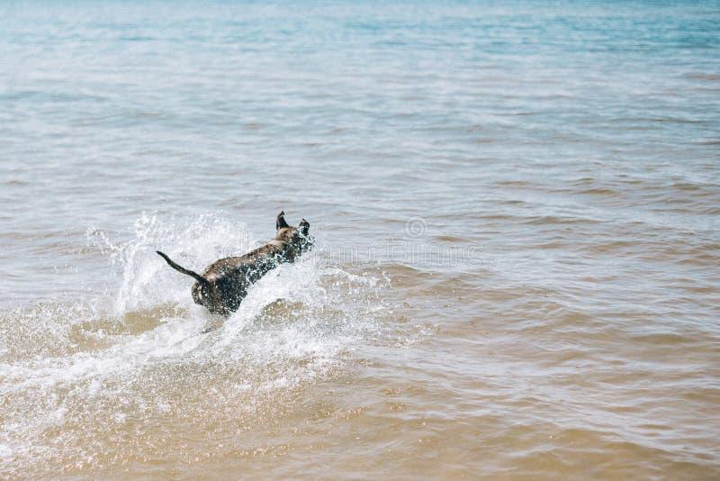 Persiga el funcionamiento en la playa con un palillo Terrier de Staffordshire americano fotografía de archivo libre de regalías