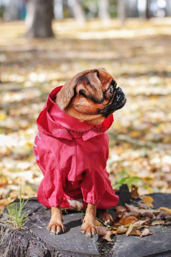 Persiga el pequeño brabanson con el color de la castaña que lleva en guardapolvo rojo fotografía de archivo