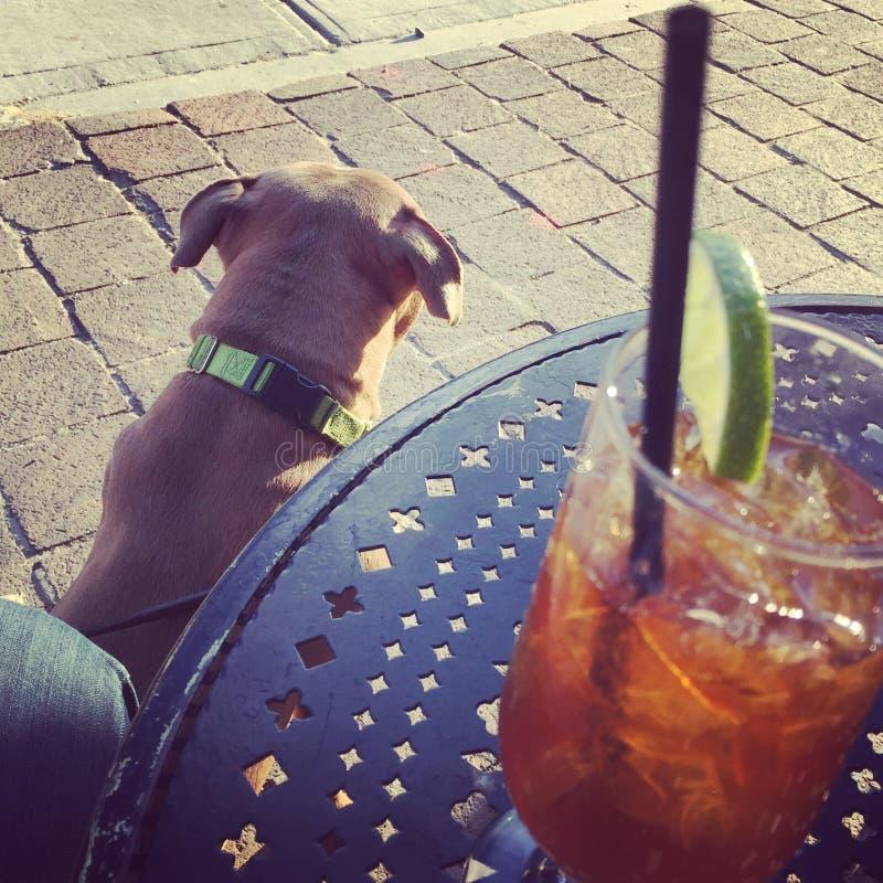 Persiga el perrito de Pitbull por la tabla con una bebida foto de archivo libre de regalías