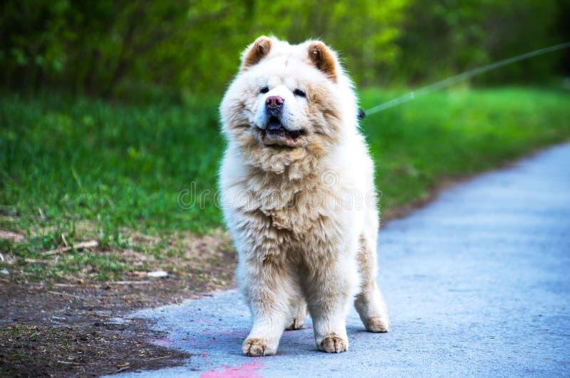 Persiga el perro chino en un correo en el parque para un paseo imagen de archivo