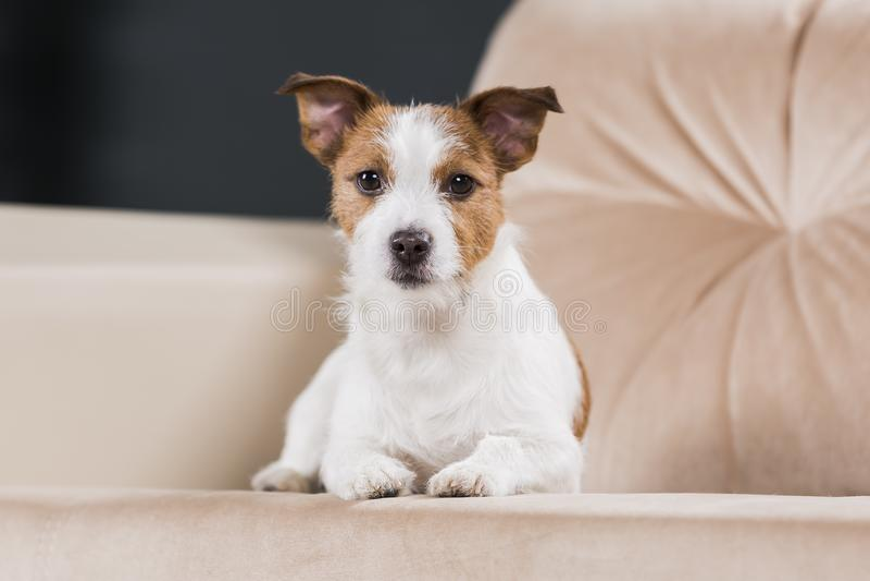 Persiga el perro del retrato de Jack Russell Terrier de la raza en vagos de un color del estudio imagen de archivo
