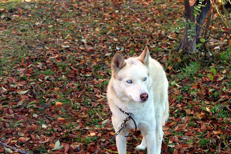 Persiga el perro esquimal con los ojos azules que se sientan en una cadena imágenes de archivo libres de regalías