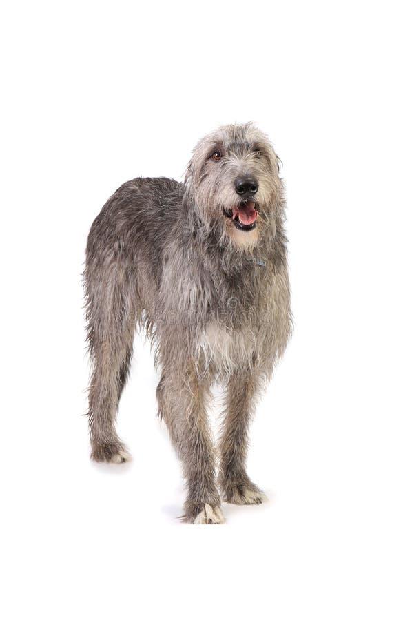Persiga el perro lobo irlandés fotografía de archivo libre de regalías