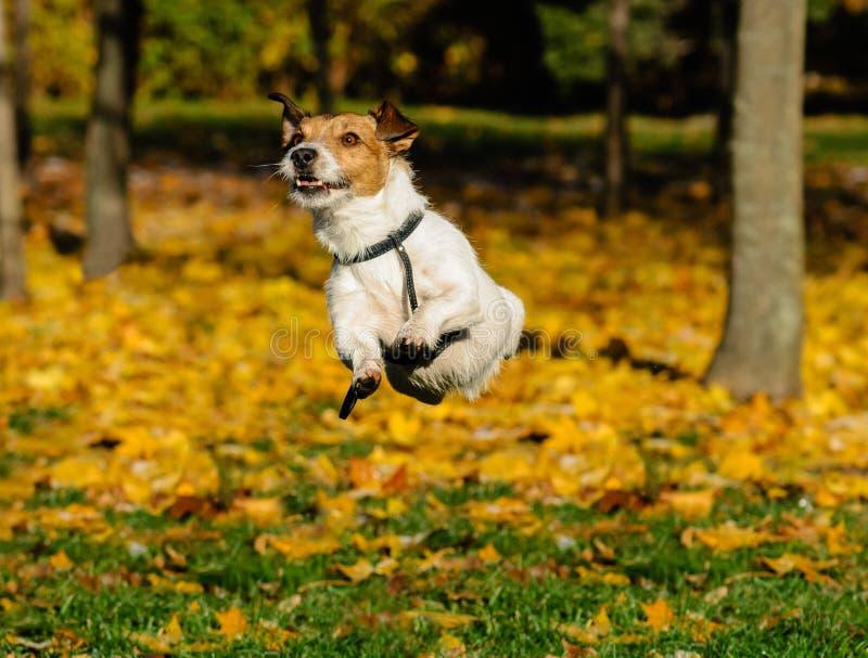 Persiga jugar y el salto al aire libre en el parque de la caída (otoño) fotografía de archivo libre de regalías