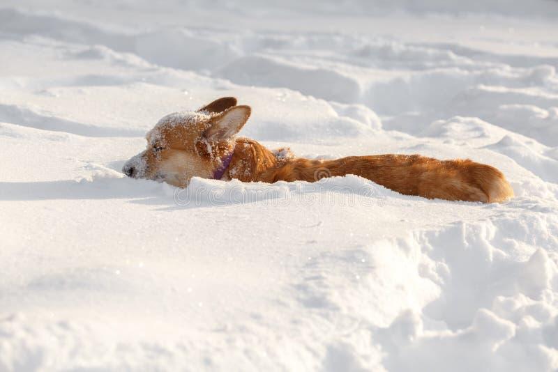 Persiga la rebeca del Corgi Galés en el invierno en la nieve fotos de archivo libres de regalías