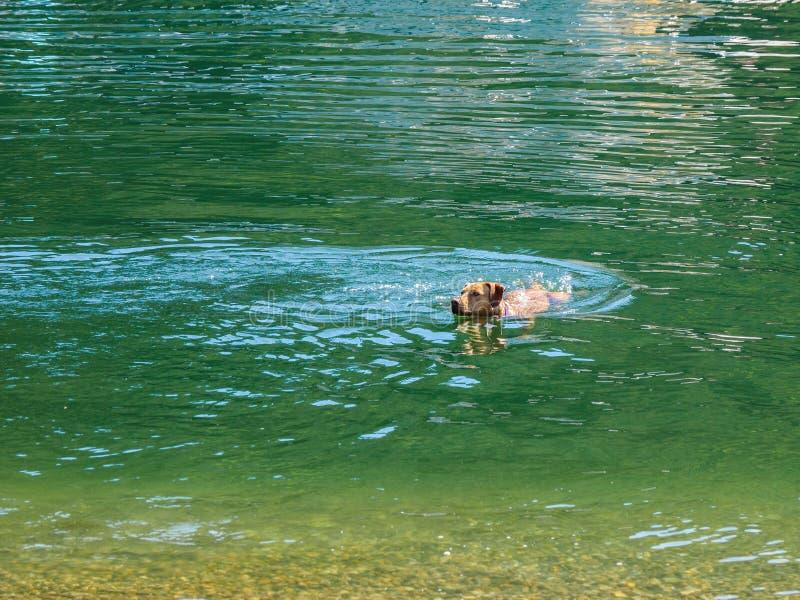 Persiga a natação de Labrador na água verde que retorna à costa fotografia de stock