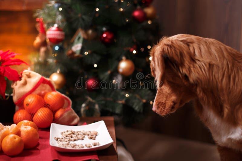 Persiga Nova Scotia Duck Tolling Retriever, o Natal e o ano novo, cão do retrato em um fundo da cor do estúdio fotografia de stock royalty free