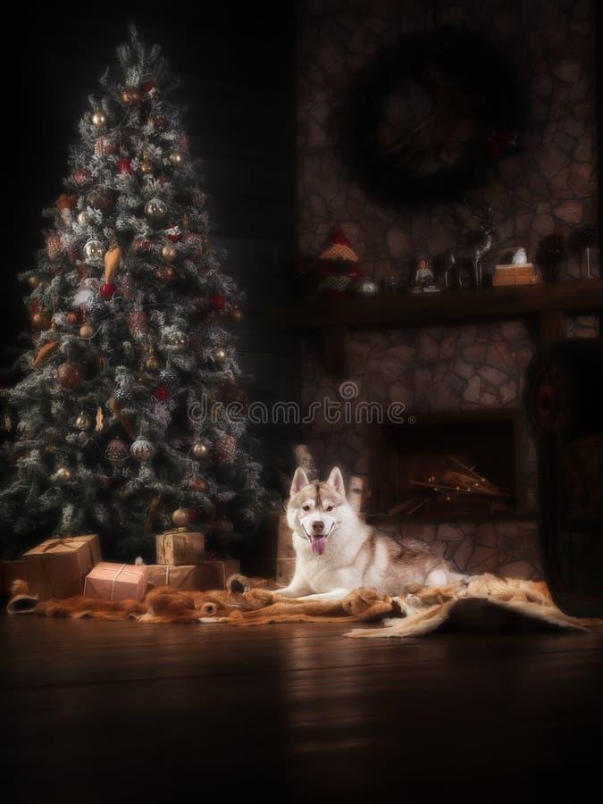 Persiga o cão de puxar trenós siberian da raça, o cão do retrato em um fundo da cor do estúdio, o Natal e o ano novo imagens de stock royalty free