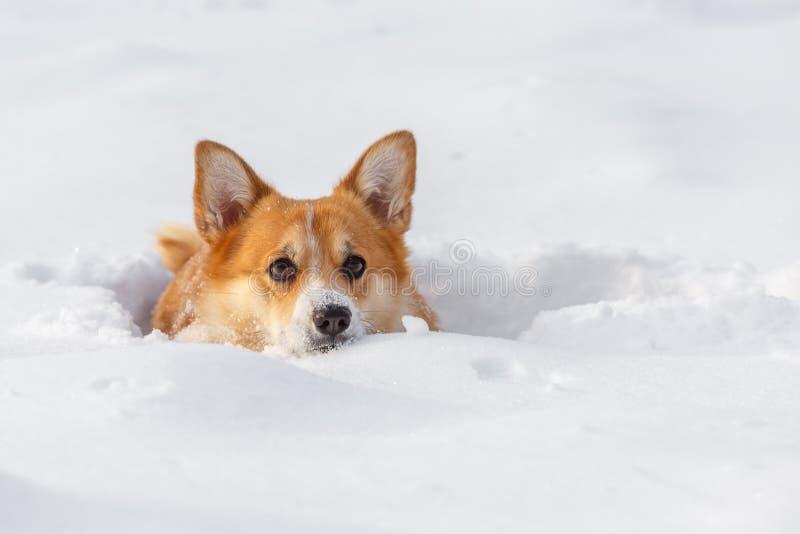 Persiga o casaco de lã do Corgi de Galês no inverno na neve fotografia de stock royalty free